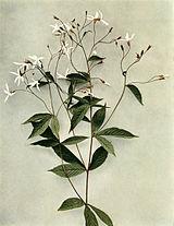 Gillenia trifoliata WFNY-091.jpg