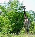 Giraffe (Giraffa camelopardalis) male browsing ... (51199408848).jpg