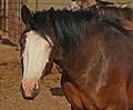 Glass-eyed baldy horse IMG 4998.jpg