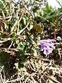 Glechoma hederacea sl4.jpg