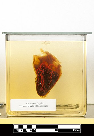 Goat heart. Specimen clarified for visualization of anatomical structures Goat heart 01.jpg