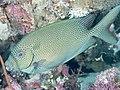 Gold-spotted rabbitfish (Siganus punctatus) (33738469228).jpg