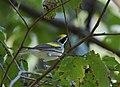 Golden-winged Warbler (37055586630).jpg