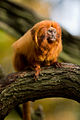 Golden lion tamarin portrait.jpg
