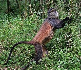 Golden monkey Species of Old World monkey