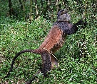 Golden monkey - Volcanoes National Park, Rwanda