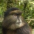 Golden monkey (Cercopithecus kandti) head.jpg