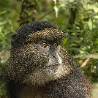 Golden monkey - Image: Golden monkey (Cercopithecus kandti) head