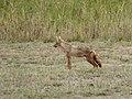 Golden wolf (33591469225).jpg