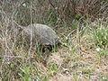 Gopher Tortoise 03, Reed Bingham State Park.JPG