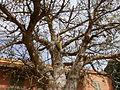 Gorée - Pain de singe dans un baobab (1).JPG