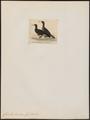 Graculus brasiliensis - 1845-1863 - Print - Iconographia Zoologica - Special Collections University of Amsterdam - UBA01 IZ18000113.tif