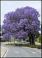 Grafton Street Jacaranda-03 (22642051606).jpg