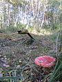 Grambow Grambower Moor Schienen Weiche Torfabbau Fliegenpilz 2013-10-06 5.JPG