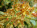 Grammatophyllummultiflorumjf9215 12.JPG