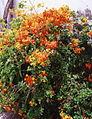 Gran Canaria (Flora) 08.jpg