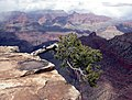 Grand Canyon National Park Lone tree on cliff 239.jpg