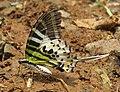 Graphium antiphates - Five-bar Swordtail 21.jpg