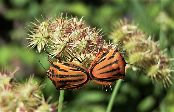 Graphosoma lineatum mating (5).jpg
