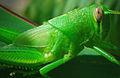 Grasshopper (2448635216).jpg