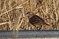 Grasshopper Sparrow (fall plumage) Curly Horse Ranch Rd Sonoita AZ 2017-12-16 09-28-47 (27341433859).jpg