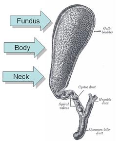Wiki Gigabit on Phrygian Cap  Anatomy    Wikipedia  The Free Encyclopedia