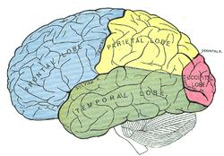 var sitter talcentrum i hjärnan