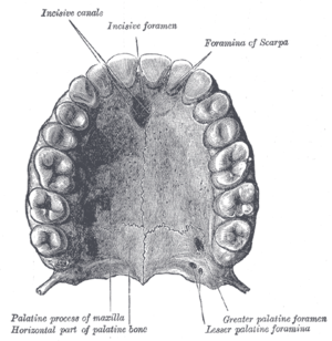Dental arch - Permanent teeth of upper dental arch, seen from below.