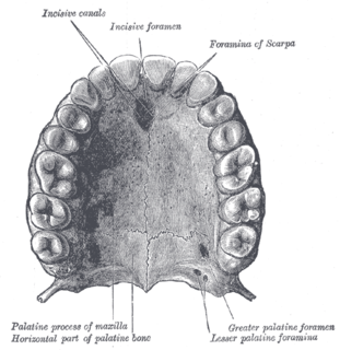 part of the oral cavity of the human being