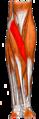 Gray — musculus pronator teres.png