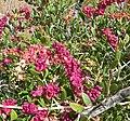 Grayia spinosa 1.jpg