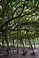 Great Banyan Tree - Indian Botanic Garden - Howrah 2012-09-20 0067.JPG