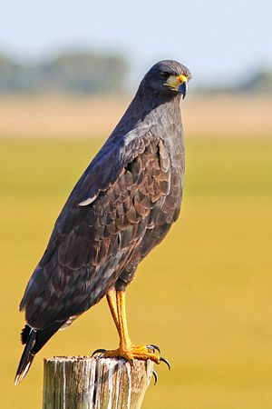 Great black hawk - Image: Great Black Hawk