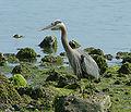 Great Blue Heron Ardea herodias 1750px.jpg