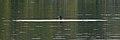 Great Cormorant (Phalacrocorax carbo) - Oslo, Norway 2020-08-28.jpg