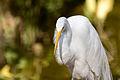 Great Egret Garza Real (Ardea alba egretta).jpg