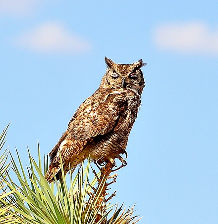Great Horned Owl Wikiwand