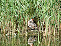 Great crested grebe, nesting (14379551124).jpg
