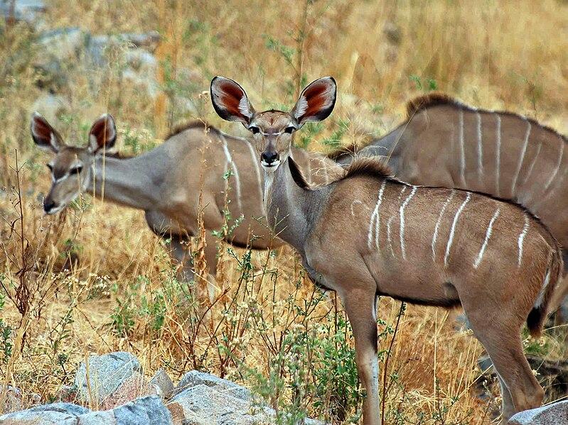 Soubor:Greater Kudu herd.jpg