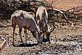 Greater Kudus (Tragelaphus strepsiceros) males drinking ... (50217745172).jpg