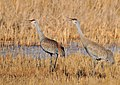 Greater Sandhill Cranes Seedskadee NWR (16955792996).jpg