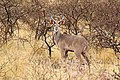 Greater kudu (Tragelaphus strepsiceros) sub-adult male.jpg