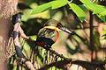 Green-and-rufous kingfisher (Chloroceryle inda).JPG