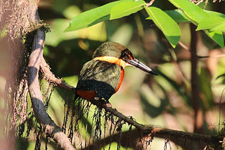 Green-and-rufous kingfisher Species of bird