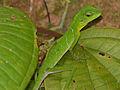 Green Crested Lizard (Bronchocela cristatella) (15502952955).jpg