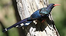 Green Wood Hoopoe, Phoeniculus purpureus, at Marakele National Park, Limpopo, South Africa (16156416079).jpg