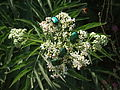 Green beetles on flower umbel.jpg