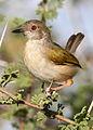 Grey-backed Camaroptera, Camaroptera brachyura, at Mapungubwe National Park, Limpopo, South Africa (17508585114).jpg