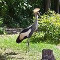 Grey crowned crane (5741282109).jpg