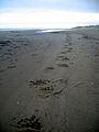Grizzly Bear Tracks on the Beach at Cape Espenberg (9513696390).jpg